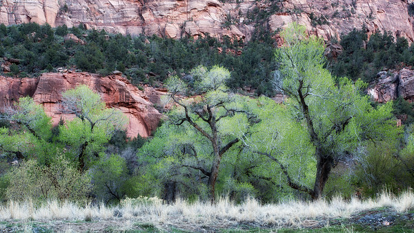 Cottonwoods in Zion Canyon