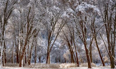 Oak Trees in Winter Storm