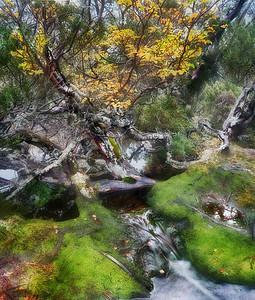 Fagus Tree in Autumn Color