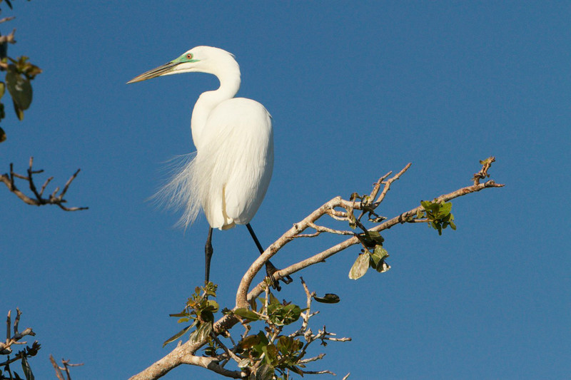 M - Great Egret with green breeding plumage