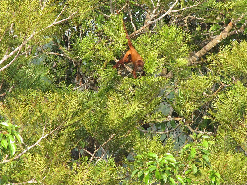 W - Howler Monkey from INPA Tower