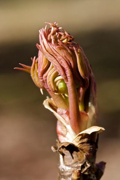 J-Tree Peony Bud