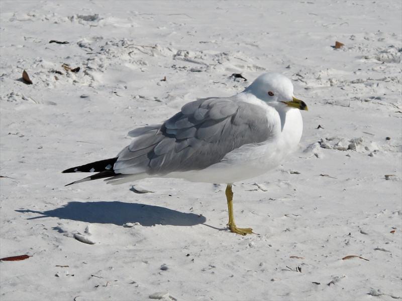 J-Siesta Beach Gull