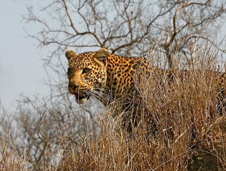 B - Leopard, Kruger N.P., S. Africa