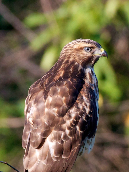 J -  Red-Shouldered Hawk