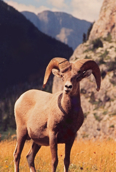 B - Big horn sheep, Canada