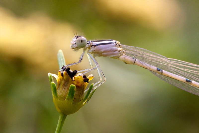 J - White Damselfly