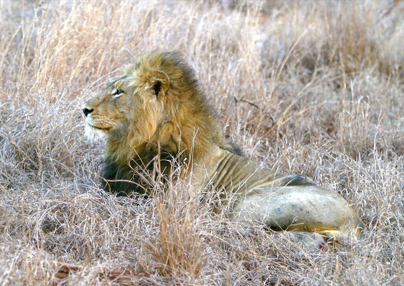 B - Older Male Lion, S. Africa