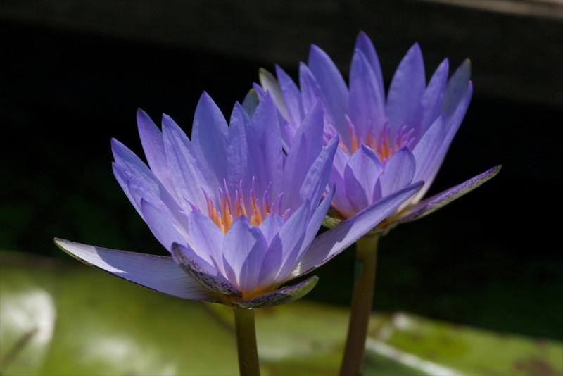 J - Blue Waterlily with yellow center