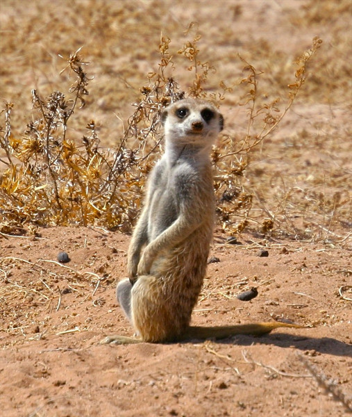 B -  Meerkat (suricate) S. Africa