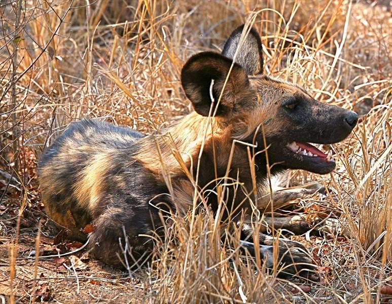 B -  African Wild Dog, S. Africa