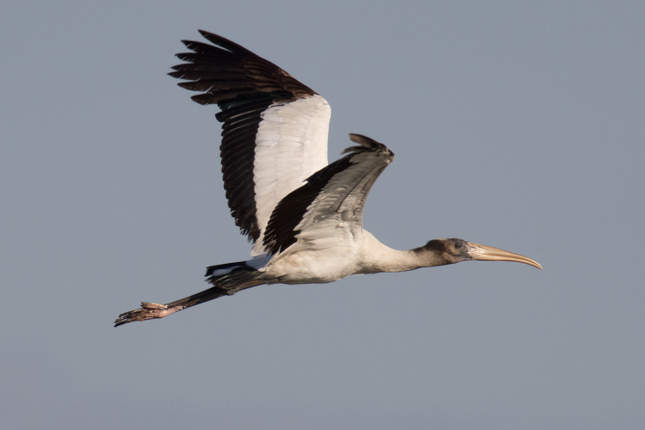 J - Wood Stork in Flight