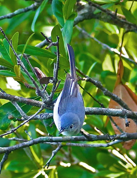B - Blue Gray Gnatcatcher