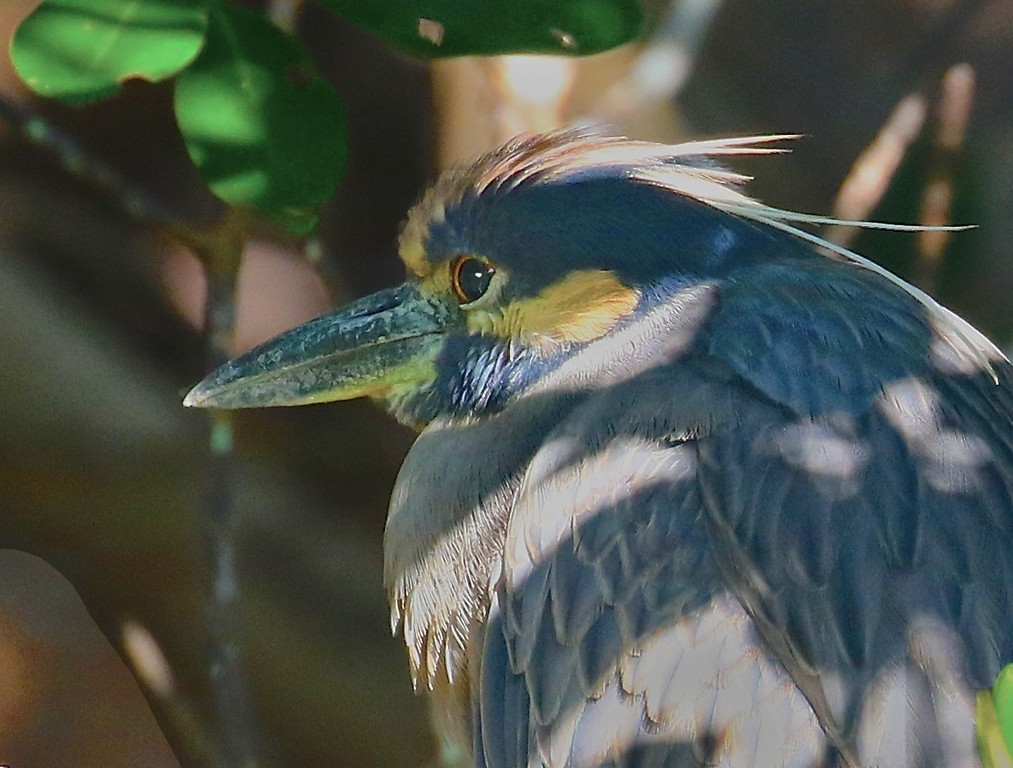 B -  Yellow Crowned Night Heron