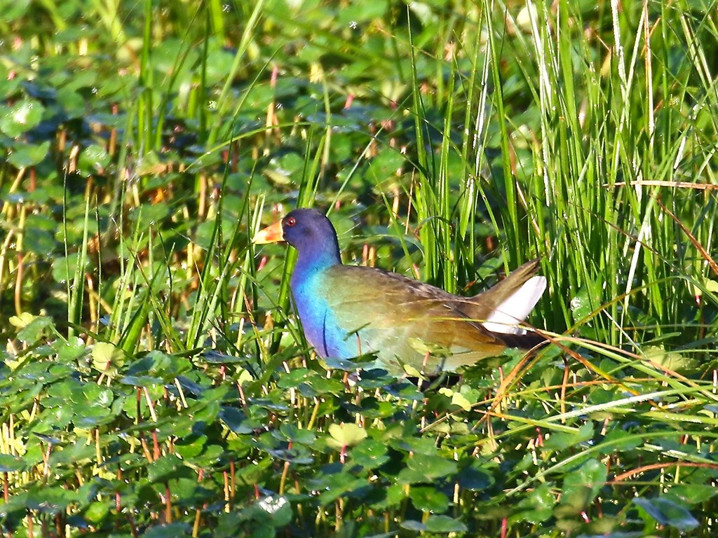 B - Purple Gallinule