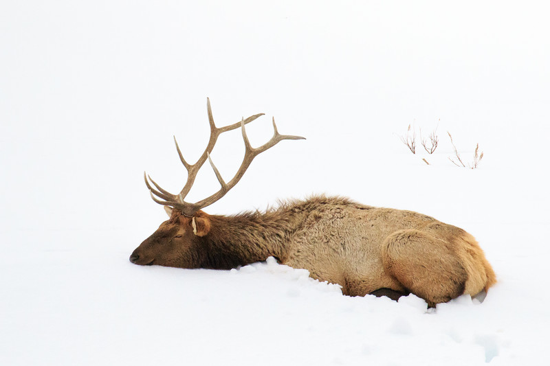 M - Contentment for a male Elk