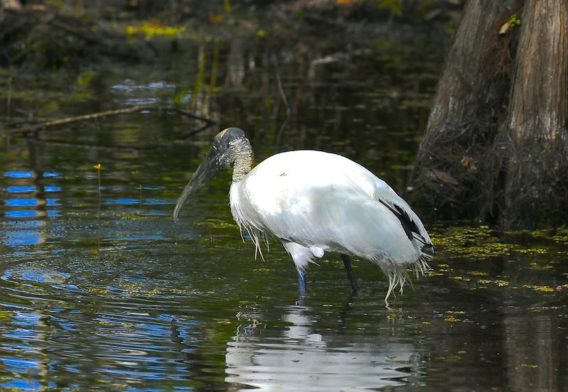 B - Wood Stork