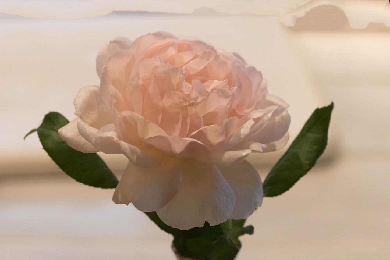 J - Blush Rose