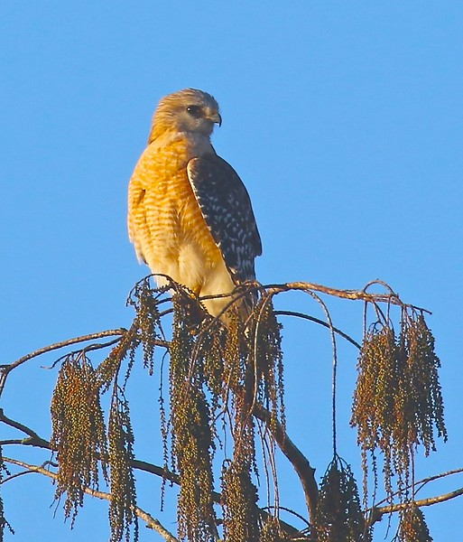 B - Red Shouldered Hawk