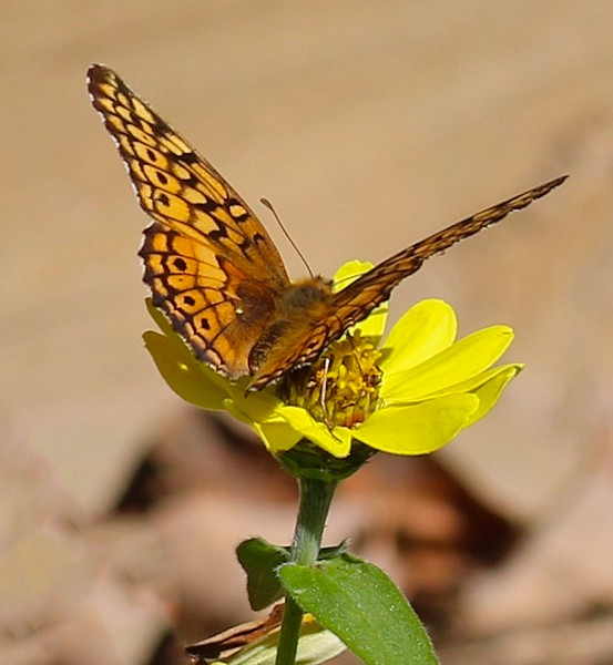 B - Variegated Fritillary Butterfly