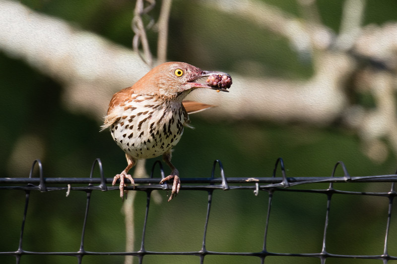J - Brown Thrasher