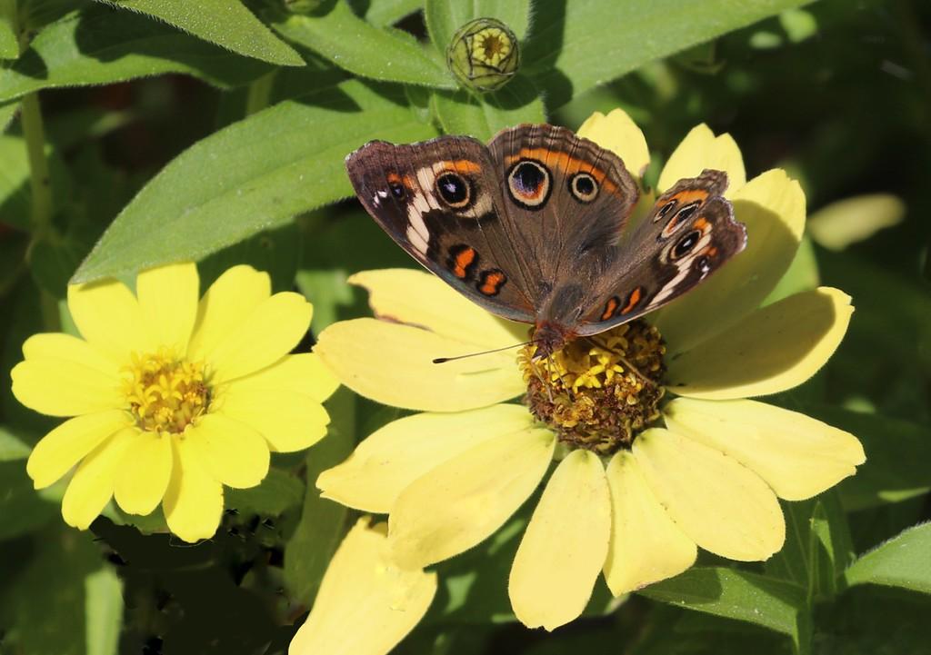 B - Buckeye Butterfly