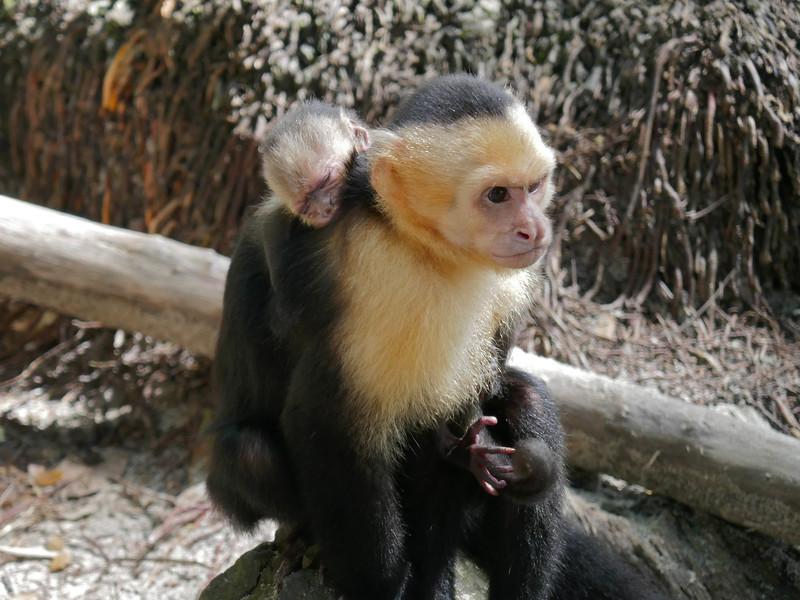 W - White-faced monkey at Manuel Antonio beach