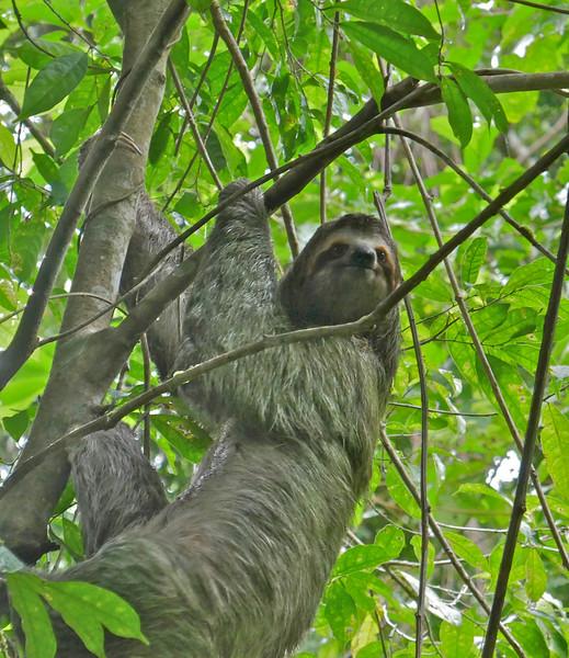 W - 3 toed sloth