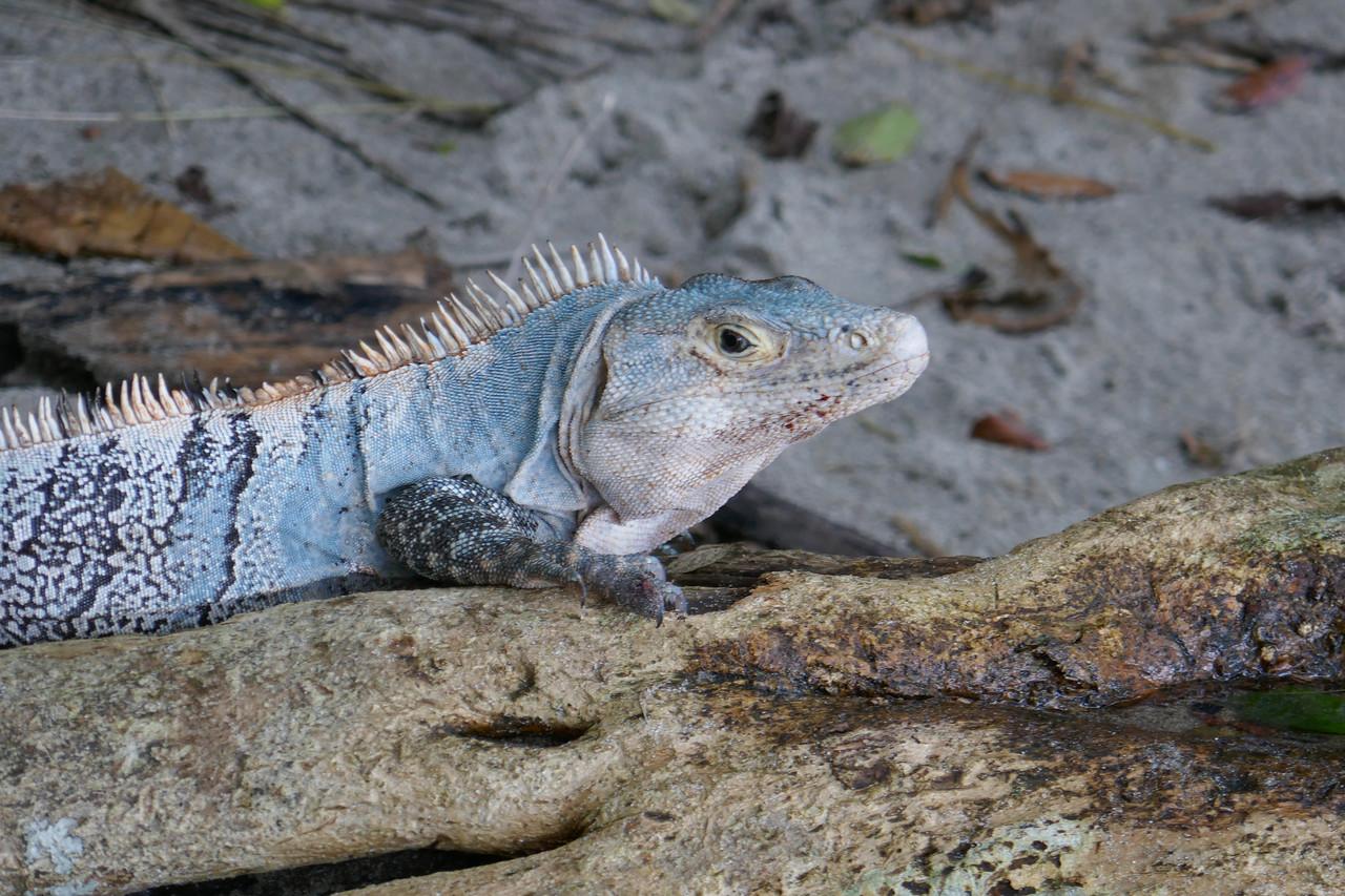 W - Iguana at Manuel Antonio NP