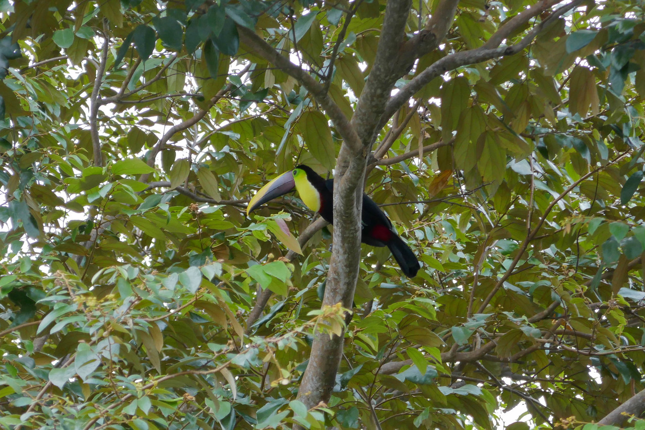 W - Yellow fronted toucan