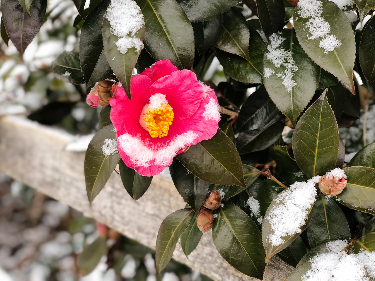 J - Camelia japonica in the Snow