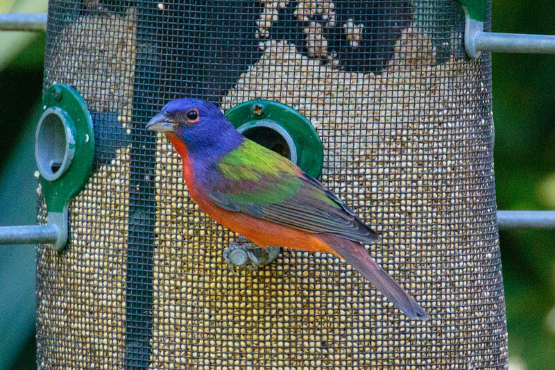 J - Painted Bunting