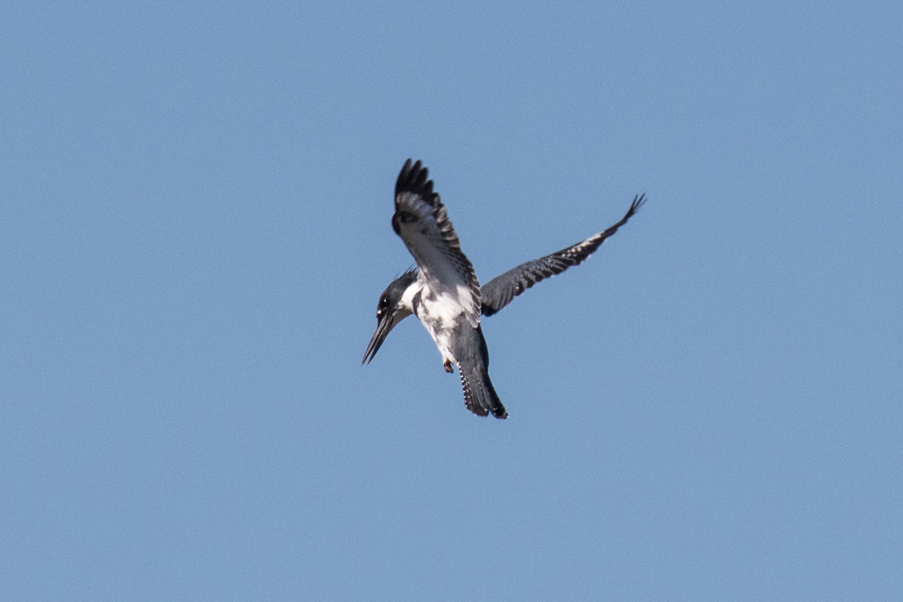 J - Belted Kingfisher