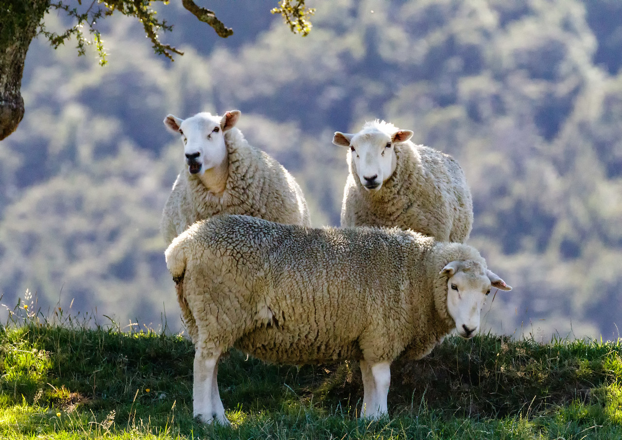 M - Sheep at attention NZ
