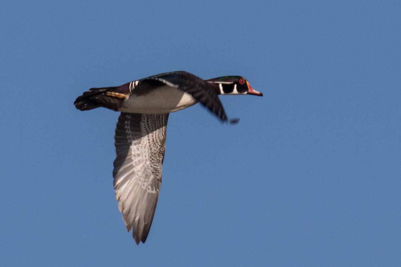 J - Wood Duck