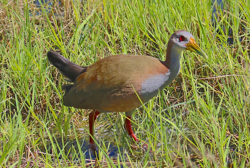 B - Brazilian giant wood rail