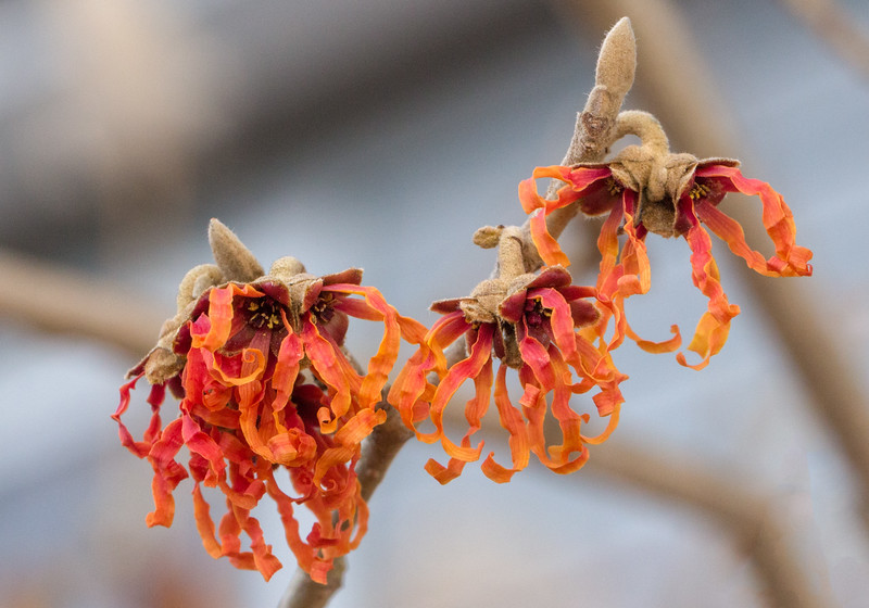 J - Witch Hazel 'Diane'