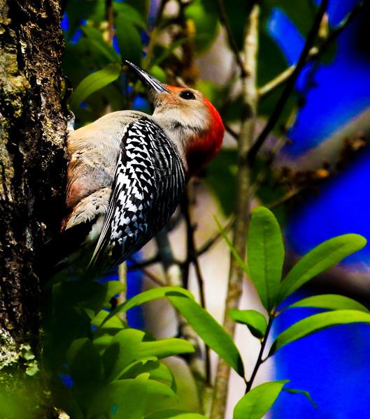 M - Red Bellied Woodpecker
