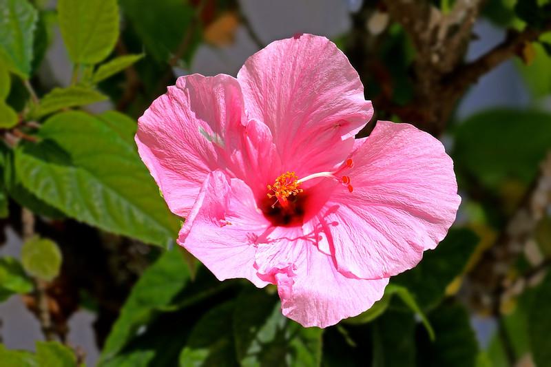 B - Pink Hibiscus
