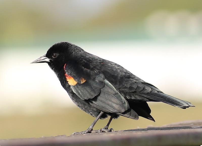 B -  Redwing Blackbird