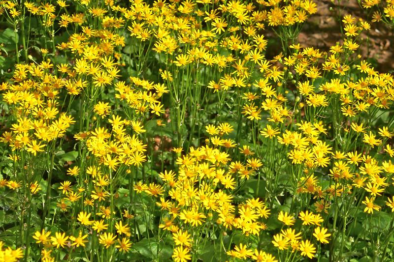 W - Golden ragwort