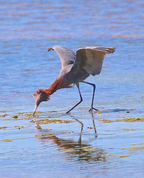 B - Fluffy Reddish Egret