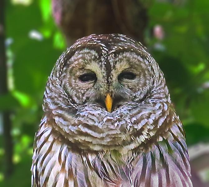 B -  Barred Owl
