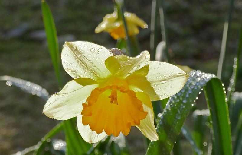 W - Daffodil and drops