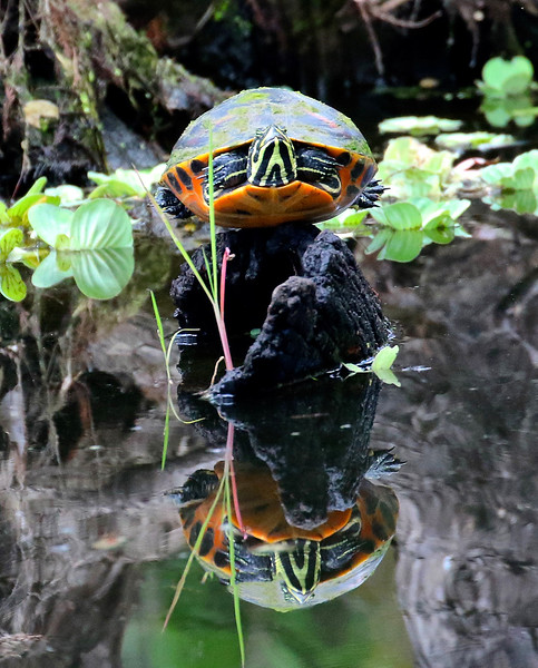 B - Reflected Turtle
