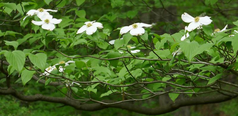 W - Dogwood branch