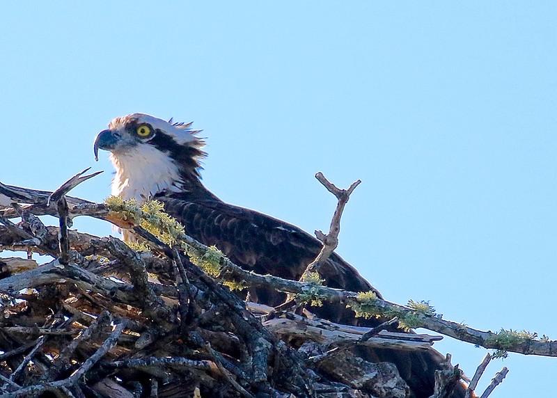 B - Osprey Nesting