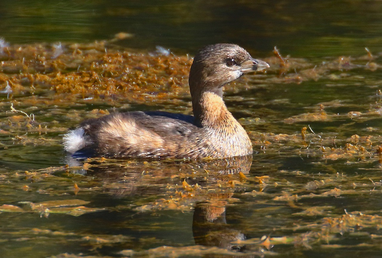 B - Pie  billed Grebe
