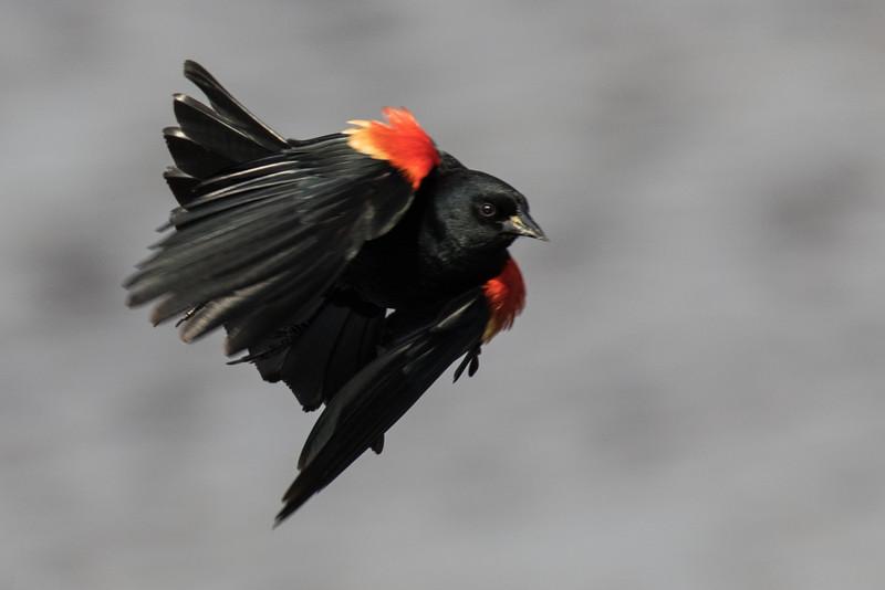 J - Red-winged Blackbird