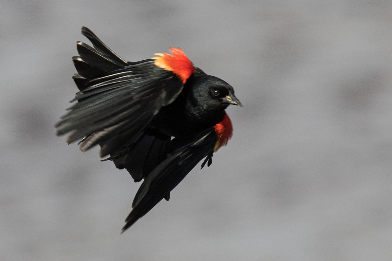J - Red-winged Blackbird